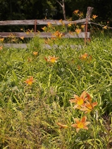 Tiger lilies, Warsaw Bottoms.