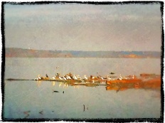 Pelicans on the Mississippi River near Keokuk, Iowa